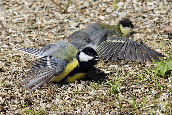 Great Tit (Parus major) pair sunbathing in garden, Lower Saxony, Germany  ,  Color Image, Day, Full Length, Germany, Great Tit, Horizontal, Lower Saxony, Nobody, Outdoors, Parus major, Photography, Side View, Songbird, Sunbathing, Thermoregulating, Two Animals, Wildlife,Great Tit,Germany  ,  Duncan Usher