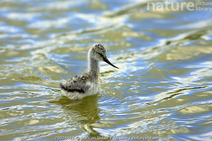 Pied Avocet (Recurvirostra avosetta) chick, Texel, Noord-Holland, Netherlands  ,  Chick, Color Image, Day, Horizontal, Juvenile, Netherlands, Nobody, Noord-Holland, One Animal, Outdoors, Photography, Pied Avocet, Recurvirostra avosetta, Ripple, Shorebird, Side View, Texel, Three Quarter Length, Wading, Wildlife,Pied Avocet,Netherlands  ,  Duncan Usher