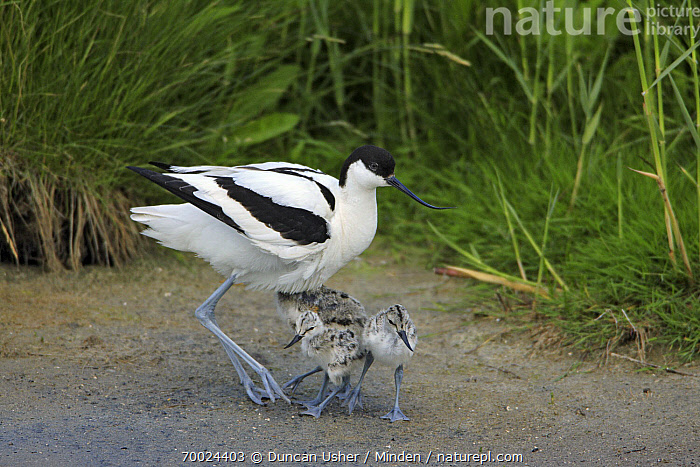 Pied Avocet (Recurvirostra avosetta) with chicks, Texel, Noord-Holland, Netherlands  ,  Adult, Chick, Color Image, Day, Four Animals, Front View, Full Length, Horizontal, Netherlands, Nobody, Noord-Holland, Outdoors, Parent, Photography, Pied Avocet, Recurvirostra avosetta, Shorebird, Side View, Texel, Wildlife,Pied Avocet,Netherlands  ,  Duncan Usher