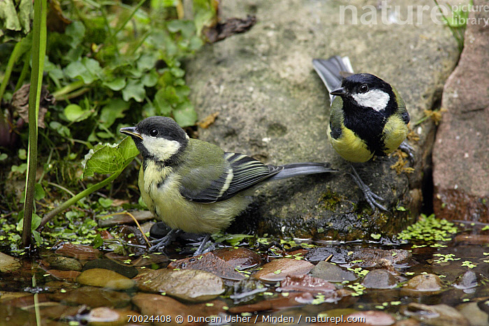 Great Tit (Parus major) with juvenile at garden pond, Lower Saxony, Germany  ,  Adult, Color Image, Day, Front View, Full Length, Garden, Germany, Great Tit, Horizontal, Juvenile, Lower Saxony, Nobody, Outdoors, Parus major, Photography, Pond, Side View, Songbird, Two Animals, Wildlife,Great Tit,Germany  ,  Duncan Usher