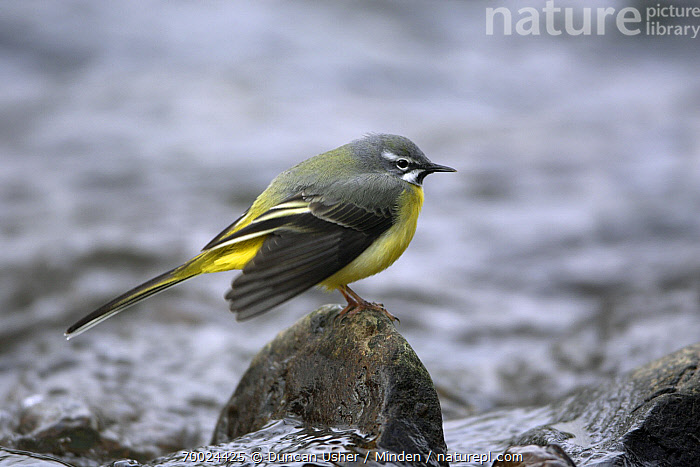 Grey Wagtail (Motacilla cinerea) male displaying from stone in river, Lower Saxony, Germany  ,  Adult, Color Image, Day, Full Length, Germany, Grey Wagtail, Horizontal, Lower Saxony, Male, Motacilla cinerea, Nobody, One Animal, Outdoors, Photography, Side View, Songbird, Wildlife,Grey Wagtail,Germany  ,  Duncan Usher