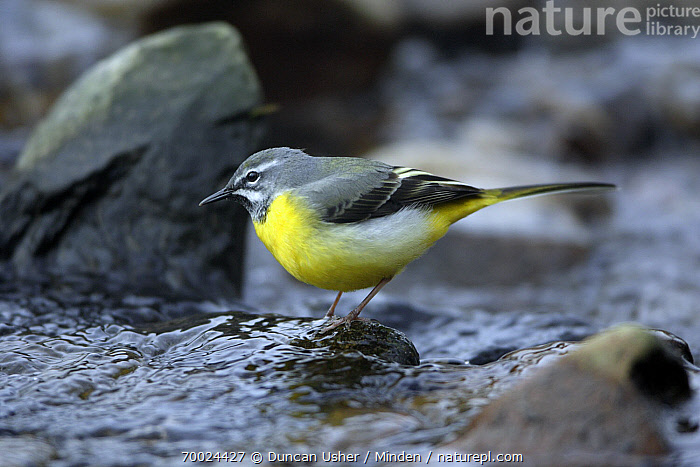 Grey Wagtail (Motacilla cinerea) male searching for food in river, Lower Saxony, Germany  ,  Adult, Color Image, Day, Full Length, Germany, Grey Wagtail, Horizontal, Lower Saxony, Male, Motacilla cinerea, Nobody, One Animal, Outdoors, Photography, Side View, Songbird, Wildlife,Grey Wagtail,Germany  ,  Duncan Usher
