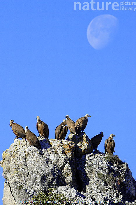 Griffon Vulture (Gyps fulvus) group perched on a rock, Andalucia, Spain  ,  Adult, Andalucia, Cliff, Color Image, Day, Flock, Full Length, Griffon Vulture, Gyps fulvus, Medium Group of Animals, Moon, Nobody, Outdoors, Photography, Raptor, Rock, Side View, Spain, Vertical, Wildlife,Griffon Vulture,Spain  ,  Duncan Usher