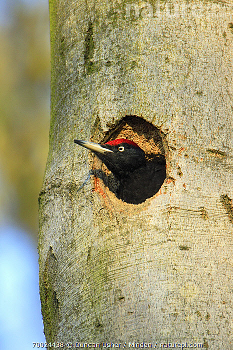 Black Woodpecker (Dryocopus martius) male at nest entrance, Lower Saxony, Germany  ,  Adult, Black Woodpecker, Color Image, Day, Dryocopus martius, Entrance, Germany, Head and Shoulders, Lower Saxony, Male, Nest, Nest Hole, Nobody, One Animal, Outdoors, Photography, Side View, Tree Trunk, Vertical, Wildlife,Black Woodpecker,Germany  ,  Duncan Usher