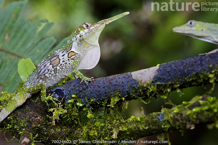 Horned Anole (Anolis proboscis) male displaying dewlap to female (sequence 3 of 4), Mindo, Pichincha, Ecuador  ,  Adult, Anolis proboscis, Color Image, Courting, Day, Dewlap, Displaying, Ecuador, Female, Head, Horizontal, Horned Anole, Male, Mindo, Nobody, One Animal, Outdoors, Photography, Pichincha, Sequence, Side View, Three Quarter Length, Two Animals, Wildlife,Horned Anole,Ecuador  ,  James Christensen