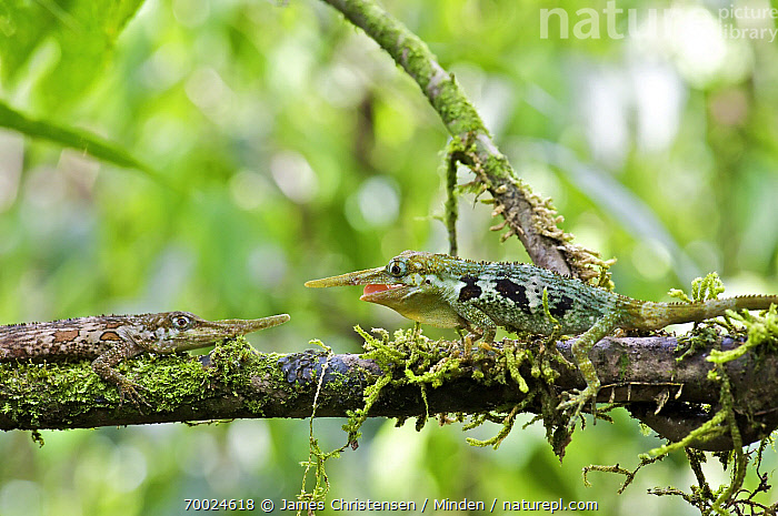 Horned Anole (Anolis proboscis) males confronting on branch, Mindo, Pichincha, Ecuador. Sequence 2 of 10  ,  Adult, Anolis proboscis, Arboreal, Branch, Color Image, Competition, Confronting, Day, Ecuador, Horizontal, Horned Anole, Male, Mindo, Nobody, Outdoors, Photography, Pichincha, Sequence, Side View, Three Quarter Length, Two Animals, Waist Up, Wildlife,Horned Anole,Ecuador  ,  James Christensen