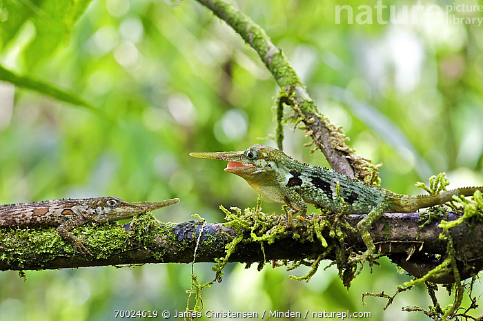 Horned Anole (Anolis proboscis) males confronting on branch, Mindo, Pichincha, Ecuador. Sequence 3 of 10  ,  Adult, Aggression, Anolis proboscis, Arboreal, Branch, Color Image, Competition, Confronting, Day, Ecuador, Full Length, Horizontal, Horned Anole, Male, Mindo, Nobody, Outdoors, Photography, Pichincha, Sequence, Side View, Three Quarter Length, Two Animals, Waist Up, Wildlife,Horned Anole,Ecuador  ,  James Christensen
