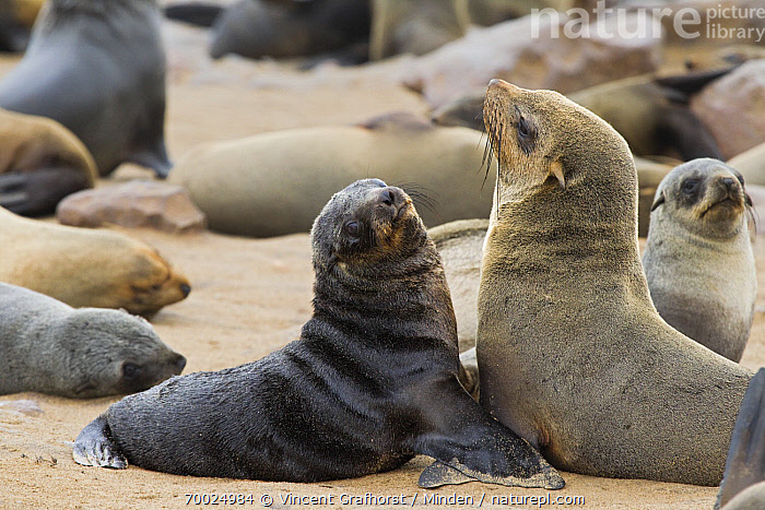 Cape Fur Seal (Arctocephalus pusillus) female and pup amid breeding colony, Cape Cross, Skeleton Coast, Namibia  ,  Adult, Arctocephalus pusillus, Baby, Cape Fur Seal, Cape Cross, Color Image, Day, Female, Full Length, Horizontal, Marine Mammal, Mother, Namibia, Nobody, Outdoors, Parent, Photography, Pup, Side View, Skeleton Coast, Two Animals, Waist Up, Wildlife,Cape Fur Seal,Namibia  ,  Vincent Grafhorst