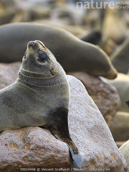 Cape Fur Seal (Arctocephalus pusillus) at breeding colony, Cape Cross, Skeleton Coast, Namibia  ,  Adult, Arctocephalus pusillus, Breeding Colony, Cape Fur Seal, Cape Cross, Color Image, Day, Marine Mammal, Nobody, One Animal, Outdoors, Photography, Rock, Side View, Skeleton Coast, Vertical, Waist Up, Wildlife,Cape Fur Seal,Namibia  ,  Vincent Grafhorst