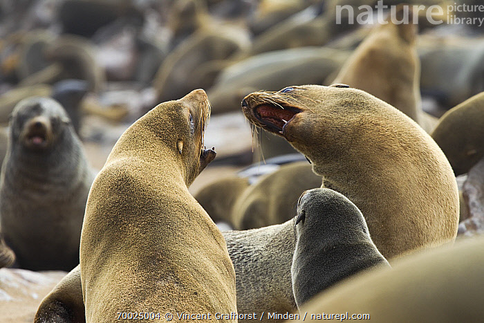 Cape Fur Seal (Arctocephalus pusillus) fighting amid colony, Cape Cross, Skeleton Coast, Namibia  ,  Adult, Arctocephalus pusillus, Cape Fur Seal, Cape Cross, Color Image, Colony, Day, Facing, Fighting, Full Length, Horizontal, Interacting, Marine Mammal, Namibia, Nobody, Open Mouth, Outdoors, Photography, Rear View, Side View, Skeleton Coast, Three Quarter Length, Two Animals, Wildlife,Cape Fur Seal,Namibia  ,  Vincent Grafhorst