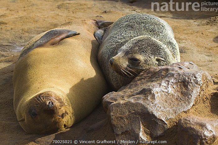 Cape Fur Seal (Arctocephalus pusillus) pair on beach, Cape Cross, Skeleton Coast, Namibia  ,  Adult, Arctocephalus pusillus, Beach, Cape Fur Seal, Cape Cross, Color Image, Day, Front View, Full Length, Horizontal, Lying, Marine Mammal, Nobody, Outdoors, Pair, Photography, Sand, Skeleton Coast, Two Animals, Upside Down, Wildlife,Cape Fur Seal,Namibia  ,  Vincent Grafhorst