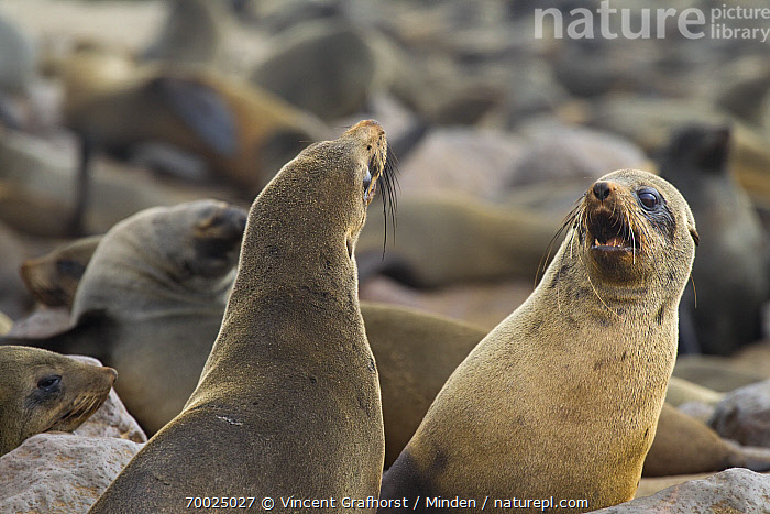 Cape Fur Seal (Arctocephalus pusillus) fighting, Cape Cross, Skeleton Coast, Namibia  ,  Adult, Arctocephalus pusillus, Breeding Colony, Cape Fur Seal, Cape Cross, Color Image, Day, Fighting, Front View, Haul Out, Horizontal, Marine Mammal, Nobody, Outdoors, Photography, Rear View, Skeleton Coast, Two Animals, Waist Up, Wildlife,Cape Fur Seal,Namibia  ,  Vincent Grafhorst