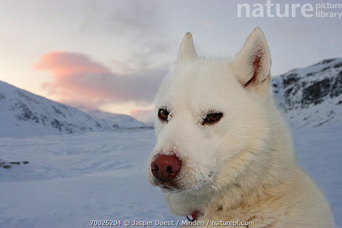 Siberian Husky (Canis familiaris), Sweden  ,  Adult, Animal in Habitat, Animal in Landscape, Canis familiaris, Color Image, Day, Domestic Animal, Face, Front View, Head, Head and Shoulders, Horizontal, Looking at Camera, Nobody, One Animal, Outdoors, Photography, Portrait, Siberian Husky, Snow,Siberian Husky,Sweden  ,  Jasper Doest
