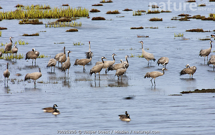 Common Crane (Grus grus) flock standing in shallow water, Lake Hornborga, Sweden  ,  Adult, Color Image, Common Crane, Day, Flock, Full Length, Grus grus, Horizontal, Lake Hornborga, Large Group of Animals, Nobody, Outdoors, Photography, Resting, Shallow Water, Side View, Standing, Wildlife,Common Crane,Sweden  ,  Jasper Doest
