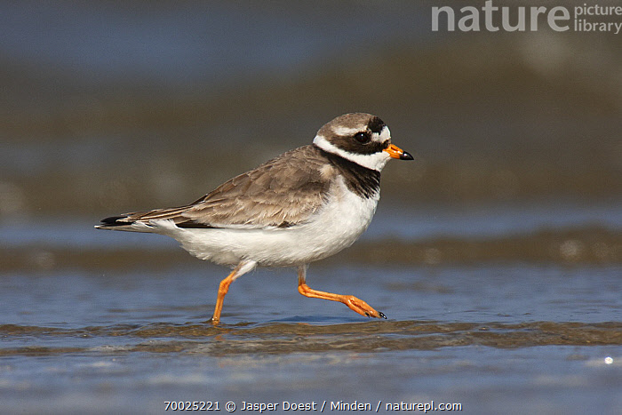 Common Ringed Plover (Charadrius hiaticula) running, Texel, Noord-Holland, Netherlands  ,  Adult, Charadrius hiaticula, Color Image, Common Ringed Plover, Day, Full Length, Horizontal, Netherlands, Nobody, Noord-Holland, One Animal, Outdoors, Photography, Running, Shallow Water, Shorebird, Side View, Texel, Wildlife,Common Ringed Plover,Netherlands  ,  Jasper Doest