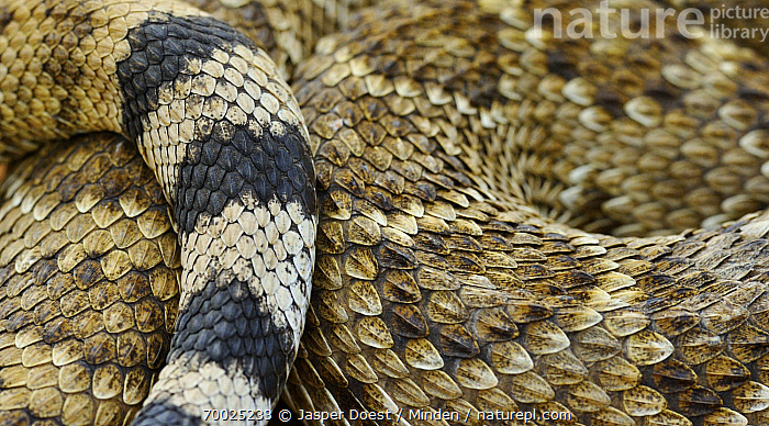 Western Diamondback Rattlesnake (Crotalus atrox) skin and scales, Hebbronville, Texas  ,  Adult, Close Up, Coiled, Color Image, Coloration, Crotalus atrox, Day, Full Frame, Hebbronville, Horizontal, Large Group of Animals, Nobody, Outdoors, Photography, Scale, Skin, Snake, Top View, Western Diamondback Rattlesnake, Wildlife,Western Diamondback Rattlesnake,Texas  ,  Jasper Doest