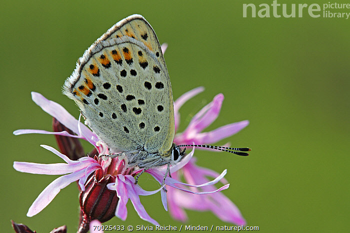 Sooty Copper (Lycaena tityrus) butterfly on Ragged Robin (Lychnis flos-cuculi), Saint-Jory-las-Bloux, Dordogne, France  ,  Adult, Butterfly, Color Image, Day, Dordogne, Flower, France, Full Length, Horizontal, Lycaena tityrus, Lychnis flos-cuculi, Nobody, One Animal, Outdoors, Perched, Photography, Ragged Robin, Saint-Jory-las-Bloux, Side View, Sooty Copper, Wildlife,Sooty Copper,Ragged Robin,Lychnis flos-cuculi,France  ,  Silvia Reiche