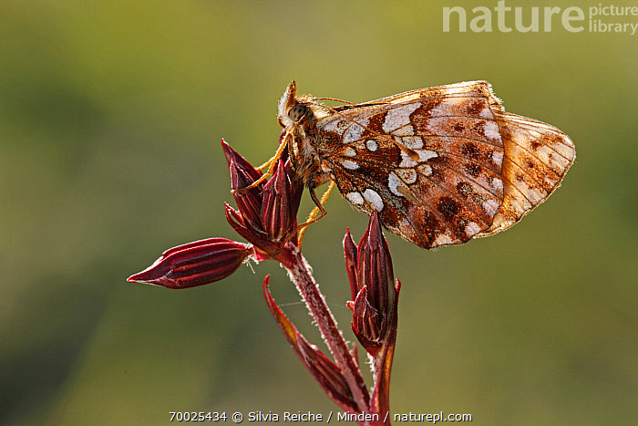 Weaver's Fritillary (Clossiana dia) butterfly on Ragged Robin (Lychnis flos-cuculi), Saint-Jory-las-Bloux, Dordogne, France  ,  Adult, Butterfly, Clossiana dia, Color Image, Day, Dordogne, Flower, France, Full Length, Horizontal, Lychnis flos-cuculi, Nobody, One Animal, Outdoors, Perched, Photography, Ragged Robin, Saint-Jory-las-Bloux, Side View, Weaver's Fritillary, Wildlife,Weaver's Fritillary,Ragged Robin,Lychnis flos-cuculi,France  ,  Silvia Reiche