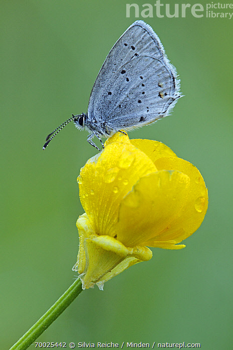 Short-tailed Blue (Cupido argiades) butterfly on yellow flower, Saint-Jory-las-Bloux, Dordogne, France  ,  Adult, Butterfly, Color Image, Cupido argiades, Day, Dordogne, Flower, France, Full Length, Nobody, One Animal, Outdoors, Perched, Photography, Saint-Jory-las-Bloux, Short-tailed Blue, Side View, Vertical, Wildlife,Short-tailed Blue,France  ,  Silvia Reiche