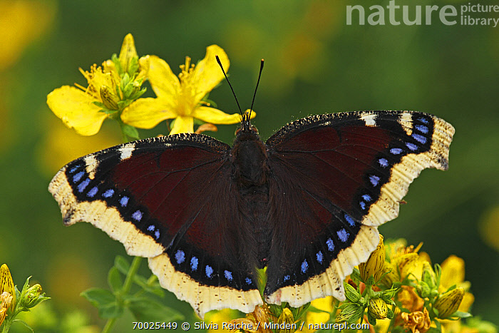 Mourning Cloak (Nymphalis antiopa), Netherlands  ,  Adult, Butterfly, Color Image, Day, Flower, Full Length, Horizontal, Mourning Cloak, Nobody, Nymphalis antiopa, One Animal, Outdoors, Perched, Photography, Top View, Wildlife,Mourning Cloak,Netherlands  ,  Silvia Reiche