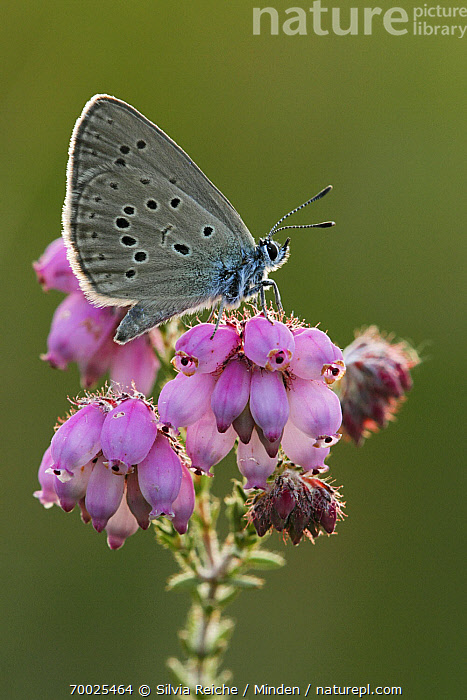 Alcon Blue (Maculinea alcon) on Cross-leaved Heath (Erica tetralix), Neterselse Heide, Noord-Brabant, Netherlands  ,  Adult, Alcon Blue, Blooming, Butterfly, Color Image, Cross-leaved Heath, Day, Erica tetralix, Flower, Full Length, Maculinea alcon, Neterselse Heide, Nobody, Noord-Brabant, One Animal, Outdoors, Perched, Photography, Pink, Side View, Vertical, Wildlife,Alcon Blue,Cross-leaved Heath,Erica tetralix,Netherlands  ,  Silvia Reiche