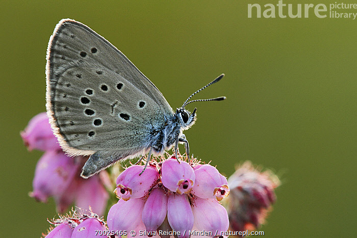 Alcon Blue (Maculinea alcon) butterfly on Cross-leaved Heath (Erica tetralix), Neterselse Heide, Noord-Brabant, Netherlands  ,  Adult, Alcon Blue, Butterfly, Color Image, Cross-leaved Heath, Day, Erica tetralix, Flower, Full Length, Horizontal, Maculinea alcon, Neterselse Heide, Netherlands, Nobody, Noord-Brabant, One Animal, Outdoors, Perched, Photography, Side View, Wildlife,Alcon Blue,Cross-leaved Heath,Erica tetralix,Netherlands  ,  Silvia Reiche
