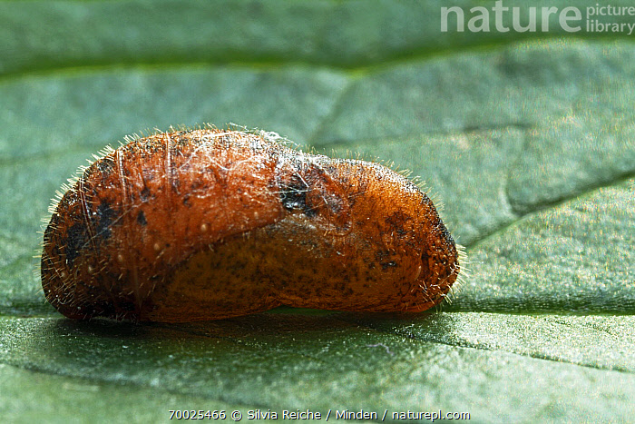 Holly Blue (Celastrina argiolus) pupa on leaf, Hoogeloon, Noord-Brabant, Netherlands  ,  Celastrina argiolus, Cocoon, Color Image, Day, Full Length, Holly Blue, Hoogeloon, Horizontal, Leaf, Nobody, Noord-Brabant, One Animal, Outdoors, Photography, Pupa, Side View, Wildlife,Holly Blue,Netherlands  ,  Silvia Reiche