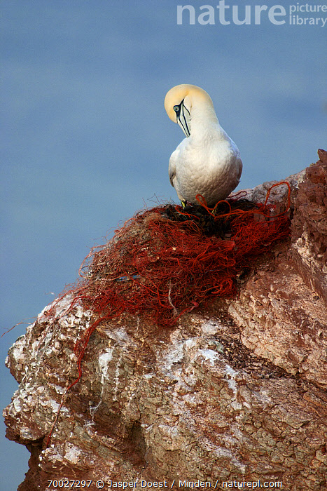 Northern Gannet (Morus bassanus) preening on fishing net, Helgoland, Germany  ,  Adult, Color Image, Day, Front View, Full Length, Helgoland, Morus bassanus, Net, Nobody, Northern Gannet, One Animal, Outdoors, Perched, Photography, Preening, Seabird, Vertical, Wildlife,Northern Gannet,Germany  ,  Jasper Doest