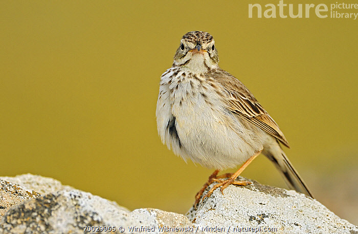 Berthelot's Pipit (Anthus berthelotii) perched on a rock, El Jable, Lanzarote, Canary Islands, Spain  ,  Adult, Anthus berthelotii, Berthelot's Pipit, Canary Islands, Color Image, Day, Full Length, Horizontal, Lanzarote, Looking at Camera, Nobody, One Animal, Outdoors, Perched, Photography, Side View, Songbird, Spain, Wildlife,Berthelot's Pipit,Spain  ,  Winfried Wisniewski