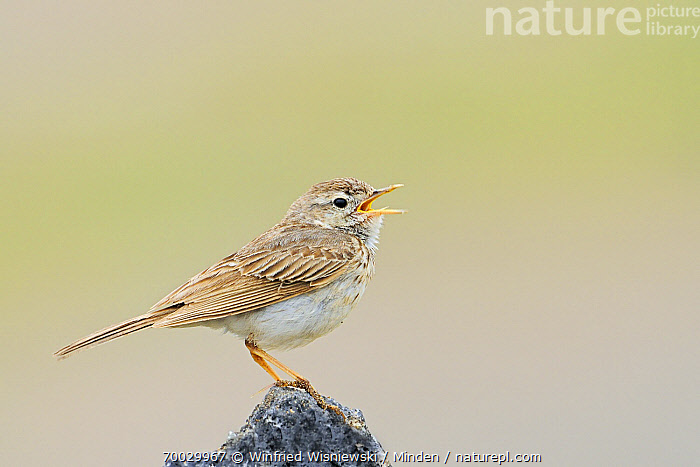 Berthelot's Pipit (Anthus berthelotii) calling, El Jable, Lanzarote, Canary Islands, Spain  ,  Adult, Anthus berthelotii, Berthelot's Pipit, Calling, Canary Islands, Color Image, Day, Full Length, Horizontal, Lanzarote, Nobody, One Animal, Open Mouth, Outdoors, Perched, Photography, Side View, Songbird, Spain, Wildlife,Berthelot's Pipit,Spain  ,  Winfried Wisniewski