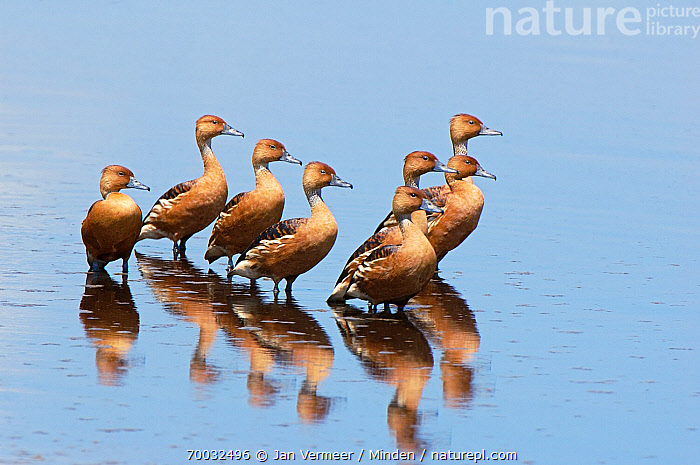 Fulvous Whistling Duck (Dendrocygna bicolor) group in shallow water, Tanzania  ,  Adult, Color Image, Day, Dendrocygna bicolor, Eight, Flock, Full Length, Fulvous Whistling Duck, Horizontal, Medium Group of Animals, Nobody, Outdoors, Photography, Reflection, Shallow Water, Side View, Tanzania, Waterfowl, Wildlife,Fulvous Whistling Duck,Tanzania  ,  Jan Vermeer