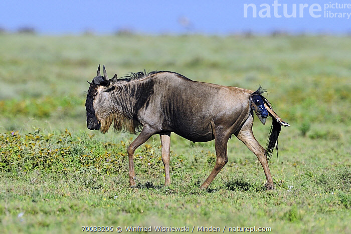 Blue Wildebeest (Connochaetes taurinus) giving birth to a calf, Serengeti National Park, Tanzania. Sequence 1 of 7  ,  Adult, Birth, Birthing, Blue Wildebeest, Calf, Color Image, Connochaetes taurinus, Day, Female, Full Length, Horizontal, Mother, Nobody, One Animal, Outdoors, Photography, Pregnant, Serengeti National Park, Sequence, Side View, Tanzania, Walking, Wildlife,Blue Wildebeest,Tanzania  ,  Winfried Wisniewski