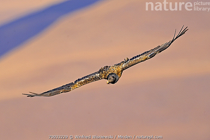 Bearded Vulture (Gypaetus barbatus) soaring, Giant's Castle Nature Reserve, Drakensberg, South Africa  ,  Adult, Bearded Vulture, Color Image, Day, Drakensberg, Flying, Front View, Full Length, Giant's Castle Nature Reserve, Gypaetus barbatus, Horizontal, Nobody, One Animal, Outdoors, Photography, Raptor, Soaring, South Africa, Wildlife,Bearded Vulture,South Africa  ,  Winfried Wisniewski