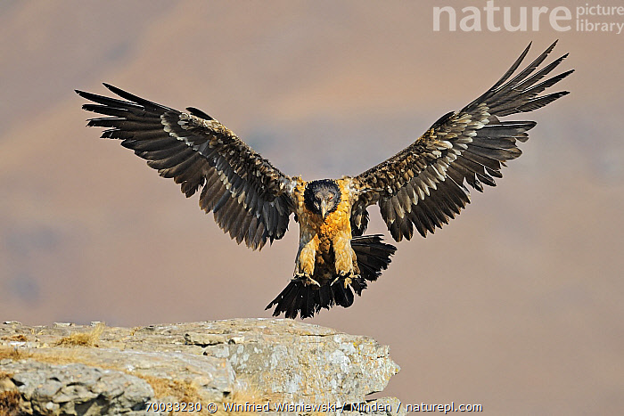 Bearded Vulture (Gypaetus barbatus) landing on a rock, Giant's Castle Nature Reserve, Drakensberg, South Africa  ,  Adult, Bearded Vulture, Color Image, Day, Drakensberg, Flying, Front View, Full Length, Giant's Castle Nature Reserve, Gypaetus barbatus, Horizontal, Landing, Nobody, One Animal, Outdoors, Photography, Raptor, South Africa, Wildlife,Bearded Vulture,South Africa  ,  Winfried Wisniewski