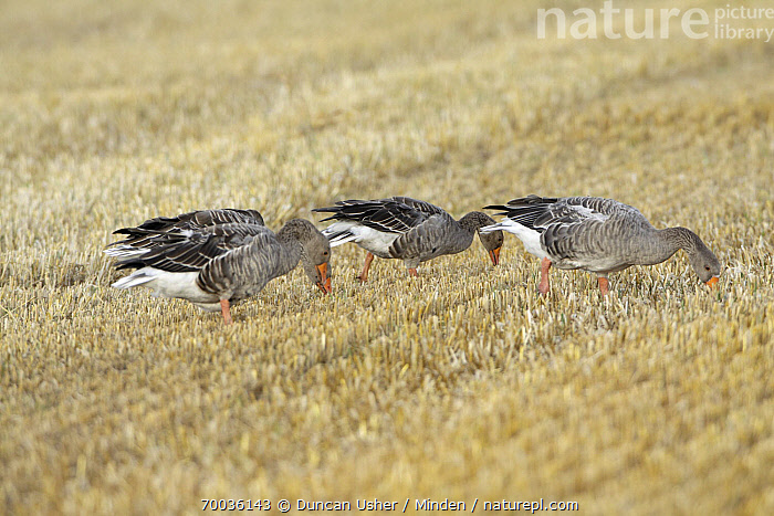 Greylag Goose (Anser anser) flock feeding on corn stubble, Texel, Noord-Holland, Netherlands  ,  Adult, Agricultural, Anser anser, Color Image, Day, Field, Full Length, Greylag Goose, Horizontal, Netherlands, Nobody, Noord-Holland, Outdoors, Photography, Side View, Texel, Three Animals, Waterfowl, Wildlife,Greylag Goose,Netherlands  ,  Duncan Usher