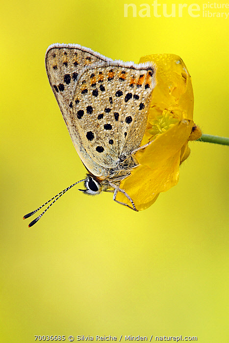 Sooty Copper (Lycaena tityrus) butterfly on yellow flower, Lauterbach, Black Forest, Germany  ,  Adult, Black Forest, Butterfly, Color Image, Day, Flower, Full Length, Germany, Lauterbach, Lycaena tityrus, Nobody, One Animal, Outdoors, Photography, Side View, Sooty Copper, Spotted, Vertical, Wildlife,Sooty Copper,Germany  ,  Silvia Reiche