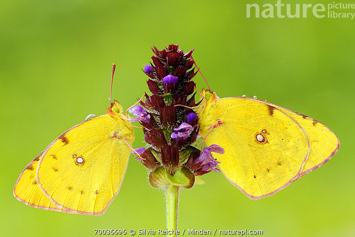 Clouded Yellow (Colias croceus) butterfly pair feeding at purple flower, Pruggern, Styria, Austria  ,  Adult, Austria, Butterfly, Clouded Yellow, Colias croceus, Color Image, Day, Feeding, Flower, Full Length, Horizontal, Nobody, Outdoors, Photography, Pruggern, Side View, Styria, Two Animals, Wildlife,Clouded Yellow,Austria  ,  Silvia Reiche