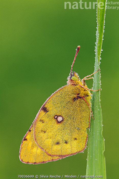 Clouded Yellow (Colias croceus) butterfly on blade of grass, Pruggern, Styria, Austria  ,  Adult, Austria, Butterfly, Clouded Yellow, Colias croceus, Color Image, Day, Full Length, Grass, Nobody, One Animal, Outdoors, Photography, Pruggern, Side View, Styria, Vertical, Wildlife,Clouded Yellow,Austria  ,  Silvia Reiche