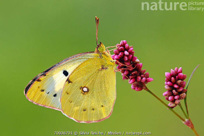 Clouded Yellow (Colias croceus)butterfly on a flower, Pruggern, Styria, Austria  ,  Adult, Austria, Clouded Yellow, Colias croceus, Color Image, Day, Flower, Full Length, Horizontal, Nobody, One Animal, Outdoors, Photography, Pruggern, Side View, Styria, Wildlife,Clouded Yellow,Austria  ,  Silvia Reiche