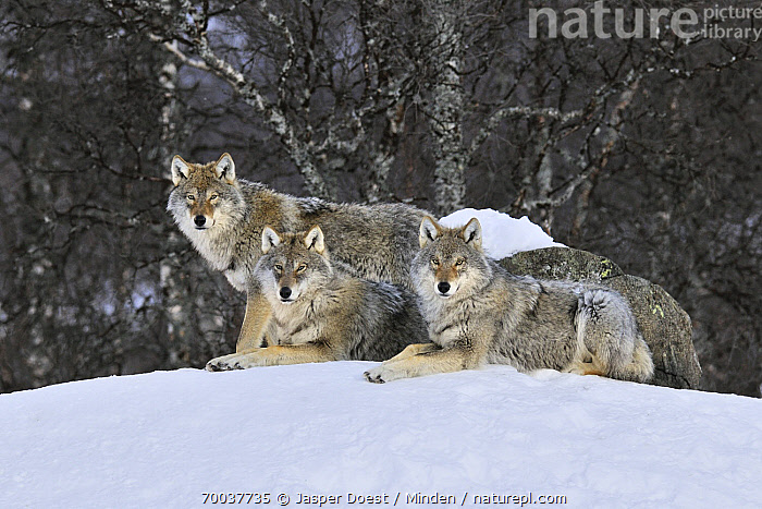 Gray Wolf (Canis lupus) pack in the snow, Norway  ,  Adult, Canis lupus, Captive, Color Image, Day, Full Length, Gray Wolf, Horizontal, Looking at Camera, Nobody, Norway, Outdoors, Pack, Photography, Side View, Snow, Three Animals, Wildlife,Gray Wolf,Norway  ,  Jasper Doest