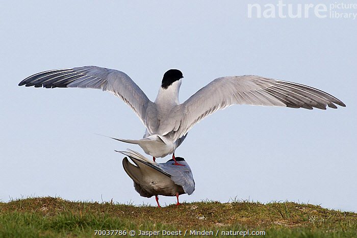 Common Tern (Sterna hirundo) mating pair, Wagejot, Texel, Noord-Holland, Netherlands  ,  Adult, Color Image, Common Tern, Day, Full Length, Horizontal, Mating, Netherlands, Nobody, Noord-Holland, Outdoors, Photography, Rear View, Seabird, Spreading Wings, Sterna hirundo, Texel, Two Animals, Wagejot, Wildlife,Common Tern,Netherlands  ,  Jasper Doest