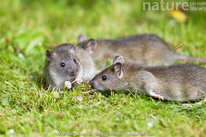 Brown Rat (Rattus norvegicus) juveniles in garden, Lower Saxony, Germany  ,  Brown Rat, Color Image, Day, Full Length, Germany, Horizontal, Juvenile, Lower Saxony, Nobody, Outdoors, Photography, Rattus norvegicus, Side View, Three Animals, Wildlife,Brown Rat,Germany  ,  Duncan Usher