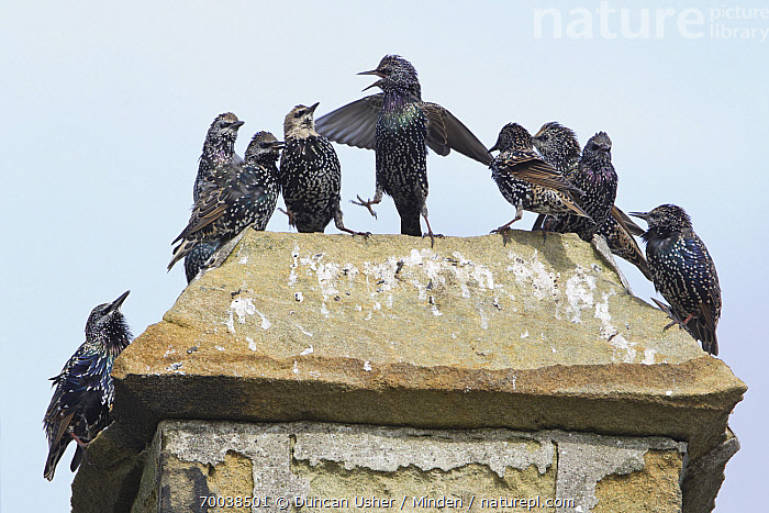 Common Starling (Sturnus vulgaris) group perched on chimney, Northumberland, England  ,  Adult, Chimney, Color Image, Common Starling, Day, England, Front View, Full Frame, Full Length, Horizontal, Individuality, Juvenile, Leadership, Medium Group of Animals, Nobody, Northumberland, Outdoors, Photography, Songbird, Sturnus vulgaris, Urban, Wildlife,Common Starling,England  ,  Duncan Usher