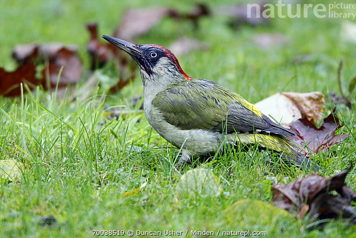 Eurasian Green Woodpecker (Picus viridis) foraging on lawn, Lower Saxony, Germany  ,  Adult, Color Image, Day, Eurasian Green Woodpecker, Foraging, Full Length, Germany, Horizontal, Lawn, Lower Saxony, Nobody, One Animal, Outdoors, Photography, Picus viridis, Side View, Wildlife,Eurasian Green Woodpecker,Germany  ,  Duncan Usher