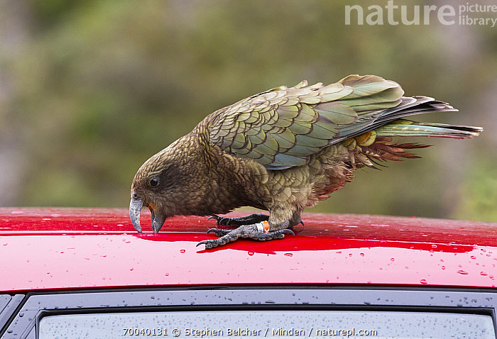 Kea (Nestor notabilis) tearing rubber off car roof, Arthur's Pass National Park, South Island, New Zealand  ,  Adult, Arthur's Pass National Park, Banded, Car, Color Image, Curiosity, Damage, Damaged, Day, Endemic, Full Length, Horizontal, Humor, Kea, Nestor notabilis, New Zealand, Nobody, One Animal, Outdoors, Parrot, Photography, Side View, South Island, Threatened Species, Vehicle, Vulnerable Species, Wildlife,Kea,New Zealand  ,  Stephen Belcher