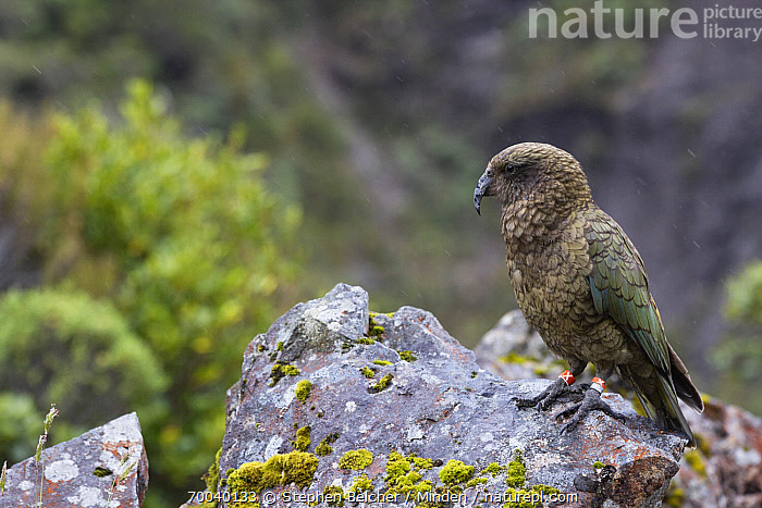 Kea (Nestor notabilis), Arthur's Pass National Park, South Island, New Zealand  ,  Adult, Arthur's Pass National Park, Banded, Color Image, Day, Endemic, Full Length, Horizontal, Kea, Nestor notabilis, New Zealand, Nobody, One Animal, Outdoors, Parrot, Photography, Side View, South Island, Threatened Species, Vulnerable Species, Wildlife,Kea,New Zealand  ,  Stephen Belcher