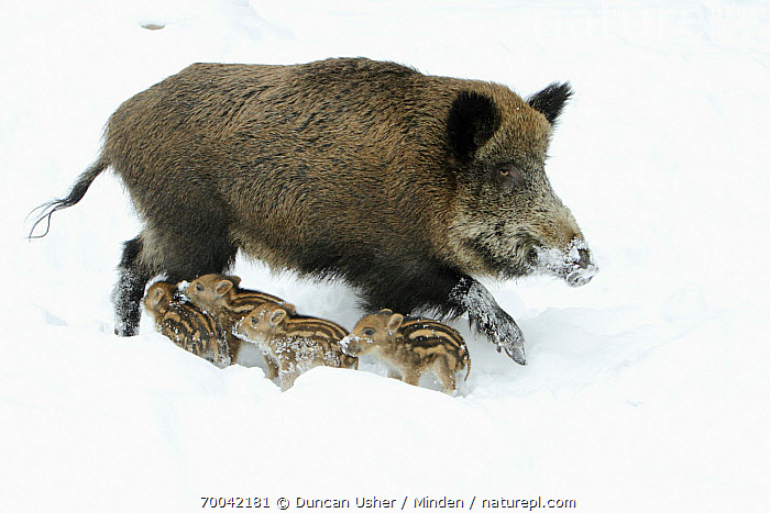 Wild Boar (Sus scrofa) sow with piglets in snow, Sababurg, Hessen, Germany  ,  Adult, Color Image, Day, Female, Five Animals, Full Length, Germany, Hessen, Horizontal, Mother, Nobody, Outdoors, Parent, Photography, Piglet, Sababurg, Sibling, Side View, Snow, Sow, Sus scrofa, Wild Boar, Wildlife, Winter,Wild Boar,Germany  ,  Duncan Usher
