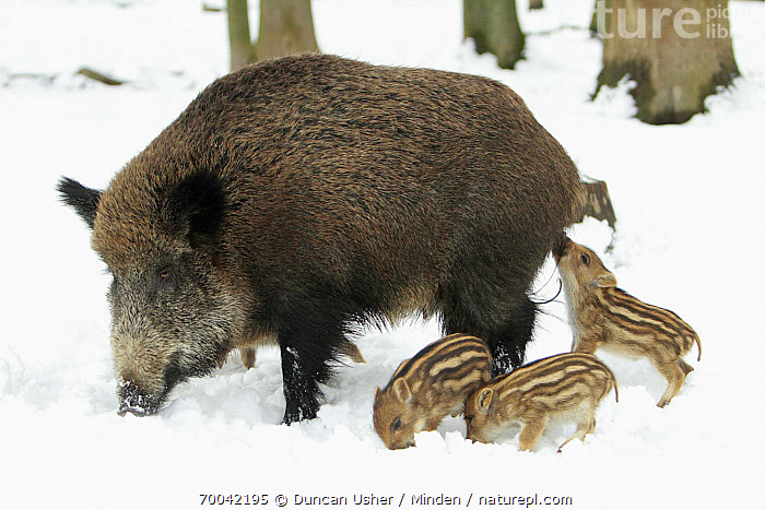 Wild Boar (Sus scrofa) sow with piglets in snow, Sababurg, Hessen, Germany  ,  Adult, Baby, Color Image, Day, Female, Four Animals, Full Length, Germany, Hessen, Horizontal, Mother, Nobody, Outdoors, Parent, Photography, Piglet, Sababurg, Sibling, Side View, Snow, Sow, Sus scrofa, Wild Boar, Wildlife, Winter,Wild Boar,Germany  ,  Duncan Usher