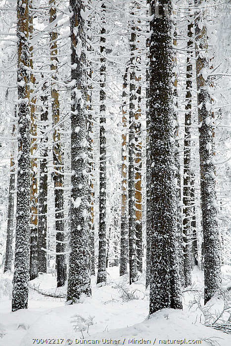 Norway Spruce (Picea abies) in snow, Brocken, Harz, Germany  ,  Brocken, Color Image, Day, Forest, Germany, Harz, Landscape, Nature Pattern, Nobody, Norway Spruce, Outdoors, Photography, Picea abies, Snow, Tree Trunk, Vertical, Winter,Norway Spruce,Germany  ,  Duncan Usher