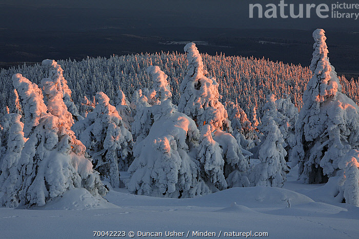 Norway Spruce(Picea abies) forest in snow at sunset, Brocken, Harz, Germany  ,  Brocken, Color Image, Day, Forest, Germany, Habitat, Harz, Horizontal, Landscape, Nobody, Norway Spruce, Outdoors, Photography, Picea abies, Snow, Winter,Norway Spruce,Germany  ,  Duncan Usher